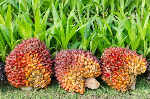 Palm oil indonesia suppliers