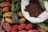 Is theobromine responsible for cocoa's cholesterol benefits?