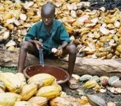 An estimated 284,000 children work on cocoa farms in West Africa, according to studies. Photo Credit: ILRF