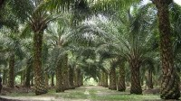 Indonesia's plantation war with foreign conglomerates